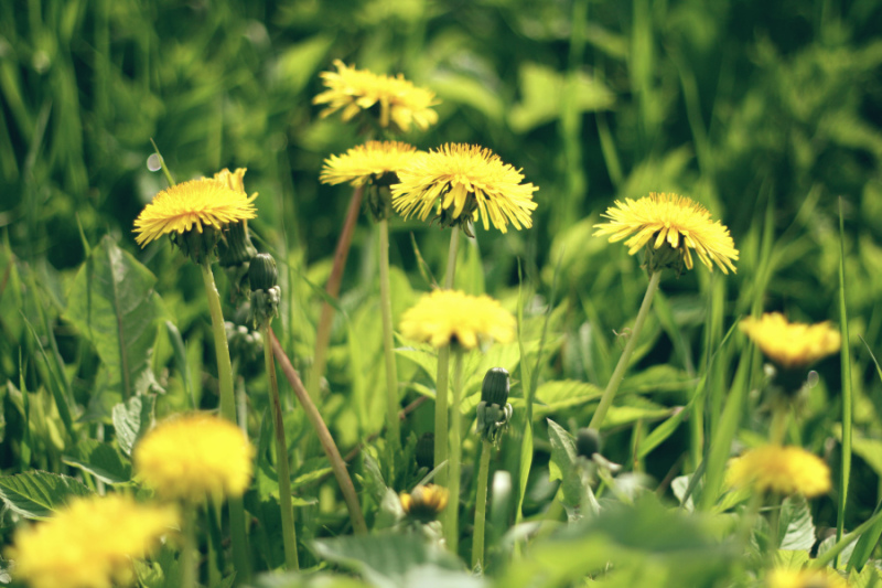 Photography by Ine PH. - Dandelions in the spring // 2013