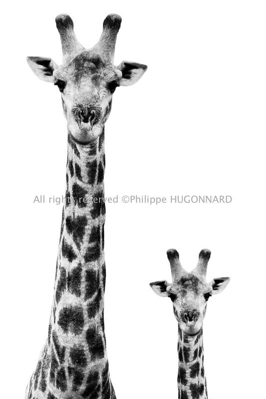 Philippe Hugonnard Photography - Le plus pure du monde animal sauvage, Safari Profile par Philippe Hugonnard rend hommage à cette faune omniprésente et tant représentative de l'Afrique du Sud. Des portraits épurés en noir et blanc, au plus proche de la beauté et de la splendeur de l'animal. Les détails sont travaillés, les expressions témoignent du moment présent.