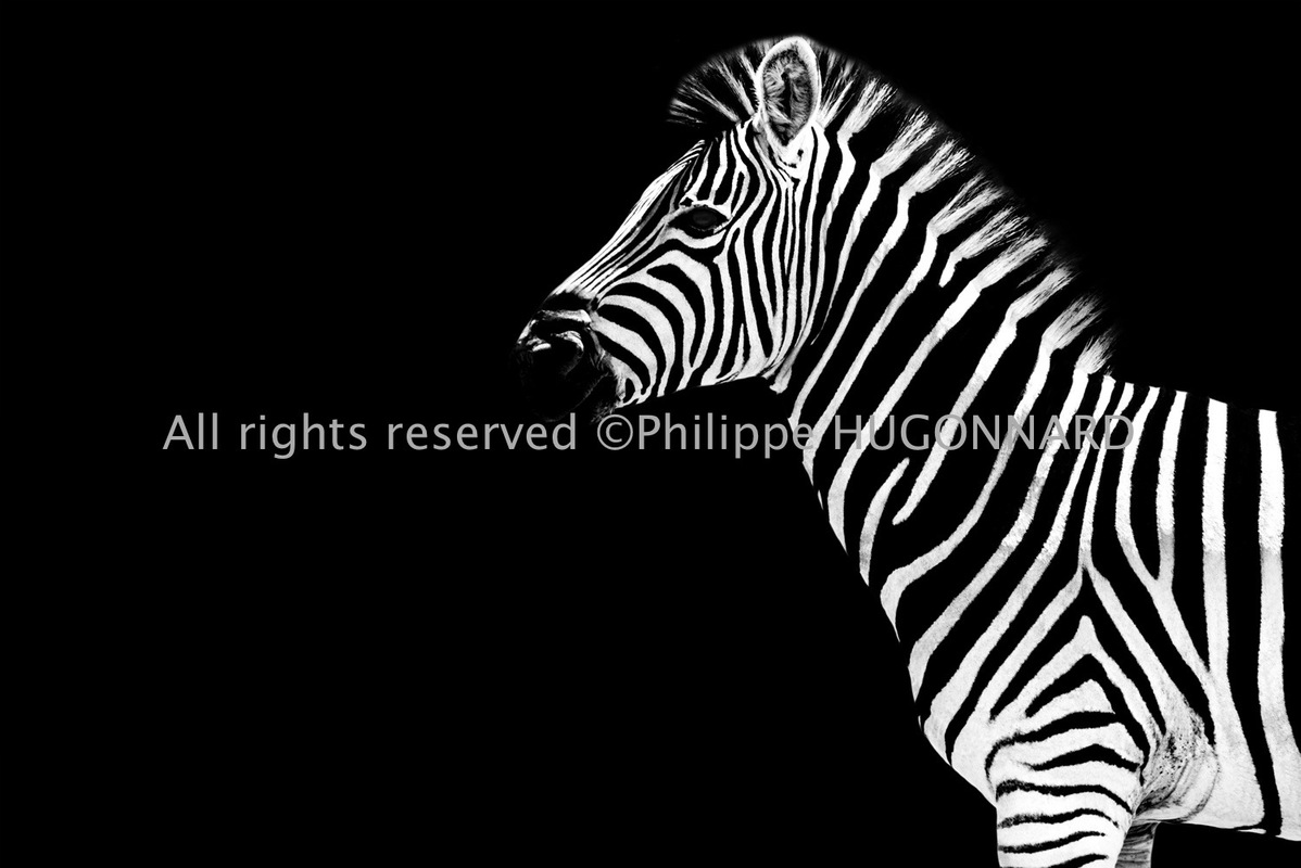 Philippe Hugonnard Photography - The purest in the world of wild animals, Safari Profile by Philippe Hugonnard pays homage to the omnipresent fauna that so aptly represents South Africa. Minimalist black and white photos are the perfect representation of these animals beauty and splendour. The careful details and expressions truly capture the present moment.