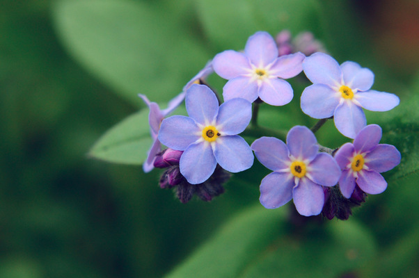 Blown A Wish Photography - Blue Forget-me-nots Macro (2014)