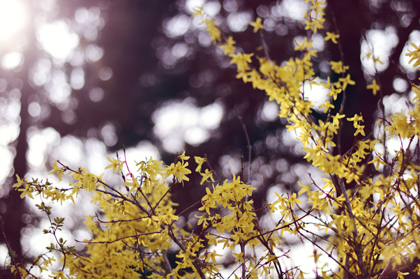 Blown A Wish Photography - Forsythia (2015)