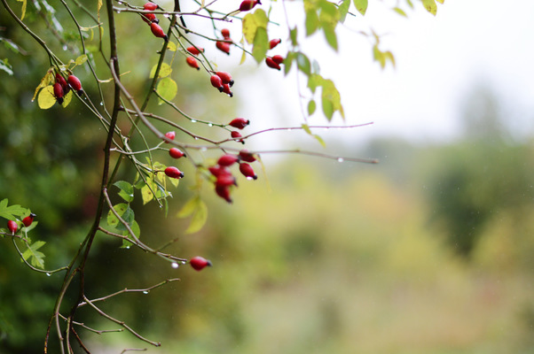 Blown A Wish Photography - Autumn Berries (2015)