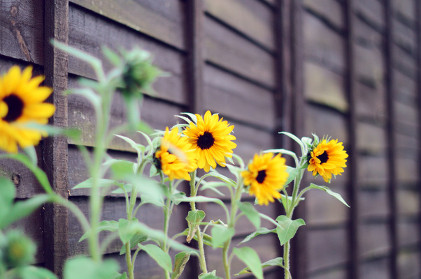 Blown A Wish Photography - Mini Sunflowers (2014)