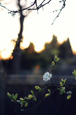 Blown A Wish Photography - Evening Blossom (2015)