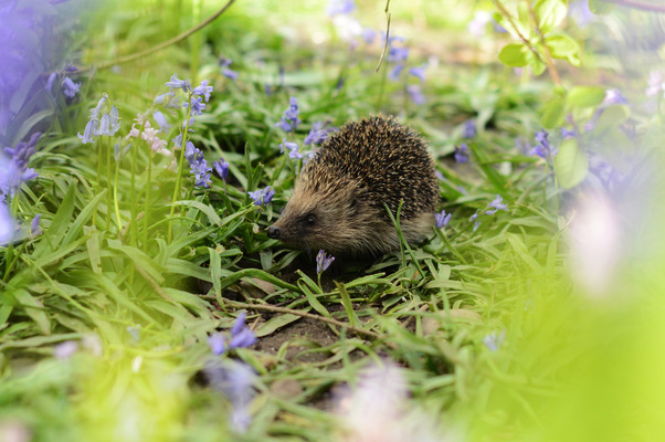 Blown A Wish Photography - Hector the Hedgehog (2015)