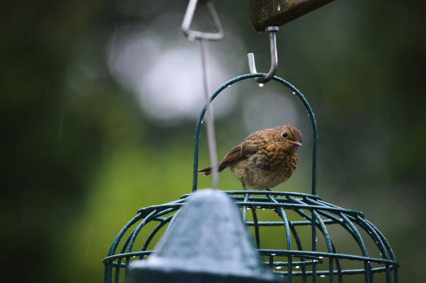 Blown A Wish Photography - Young Robin on a Rainy Day (2015)