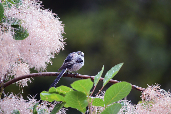 Blown A Wish Photography - Long-tailed Tit (2015)