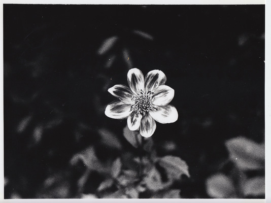 Blown A Wish Photography - Lone Flower (2016) - scan of a darkroom-made print