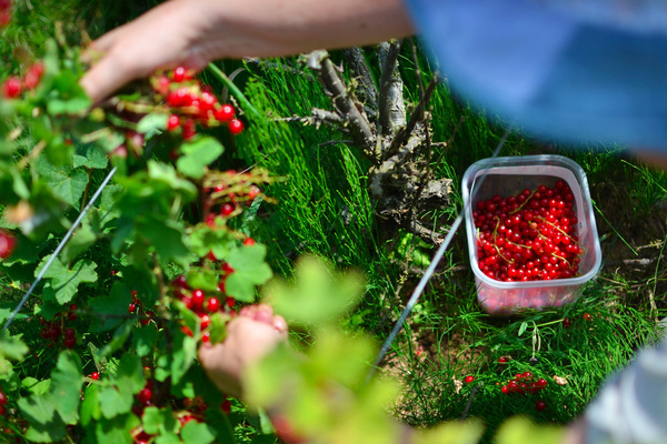 Blown A Wish Photography - Picking Redcurrants (2013)