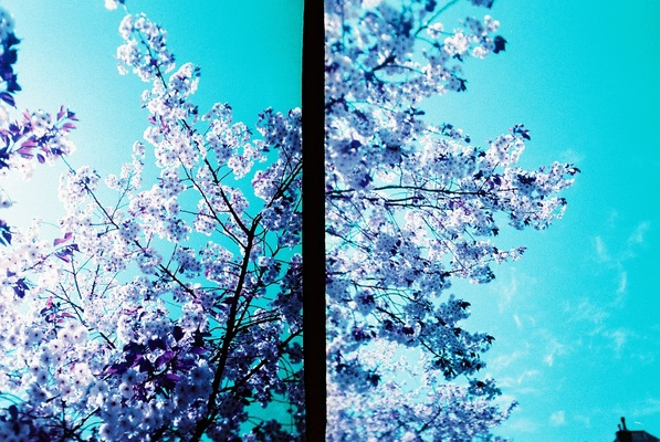 Blown A Wish Photography - Purple Blossom (2014)