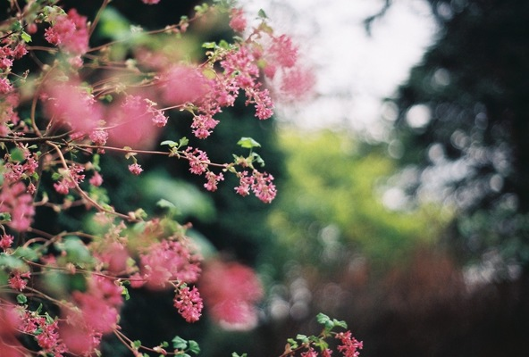 Blown A Wish Photography - Flowering Currant (2016)