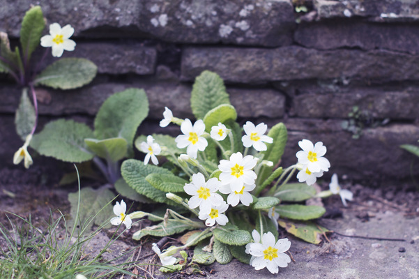 Blown A Wish Photography - 15/52 White Primroses (2017)