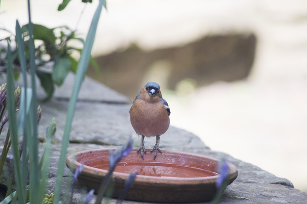 Blown A Wish Photography - 16/52 Chaffinch (2017)