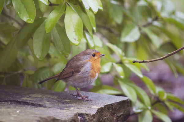Blown A Wish Photography - 5/52 Robin (2017)