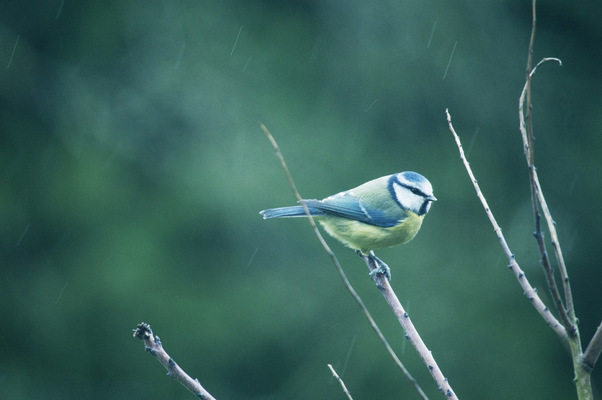 Blown A Wish Photography - 1/52 Blue tit on a rainy day (2017)