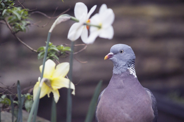 Blown A Wish Photography - 13/52 Springtime Pigeon (2017)