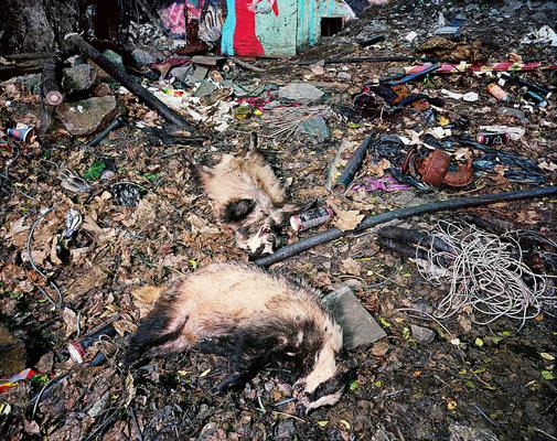 Leif Claesson - Poisoned badger family