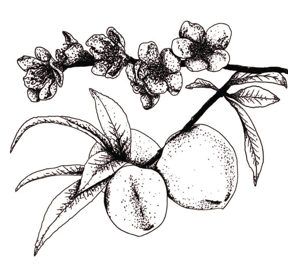 Lara-Jane van Antwerpen - Peach Drawing