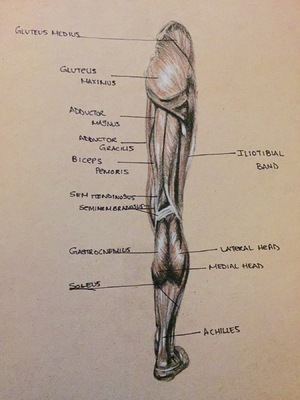 Montana Jade - Anatomical and muscle study, back leg