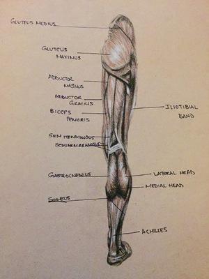 Montana Jade - Anatomical and muscle study, back leg