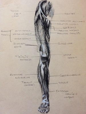 Montana Jade - Anatomical and muscle study, front leg