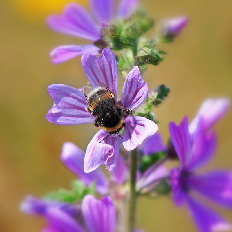 Creative Bytes Images - Just a Bumblebee Doing the Day Job!