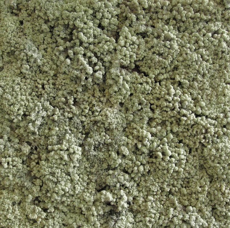 Sven Fritz - Cladonia rangiferina 120 x 120 cm