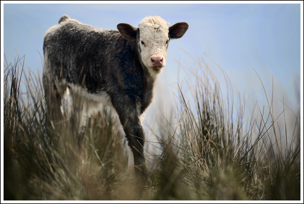 Simon Larson Photography - Spring Calf