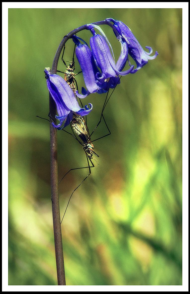 Simon Larson Photography - Bluebells and mating dragon flies