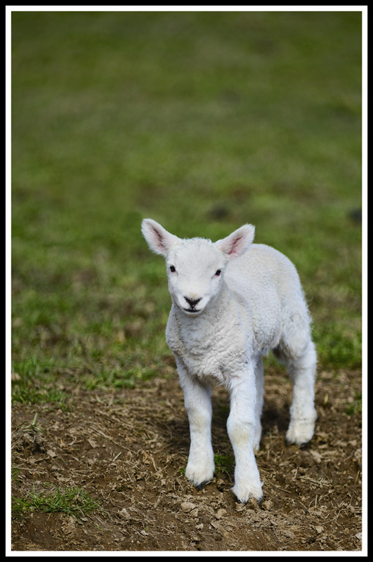 Simon Larson Photography - Spring Lamb