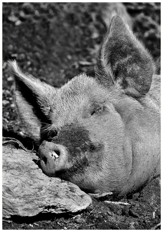 Simon Larson Photography - Sleeping Sow