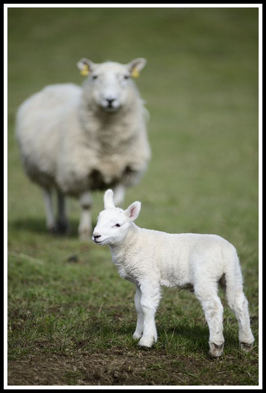 Simon Larson Photography - Watching over her Spring Lamb