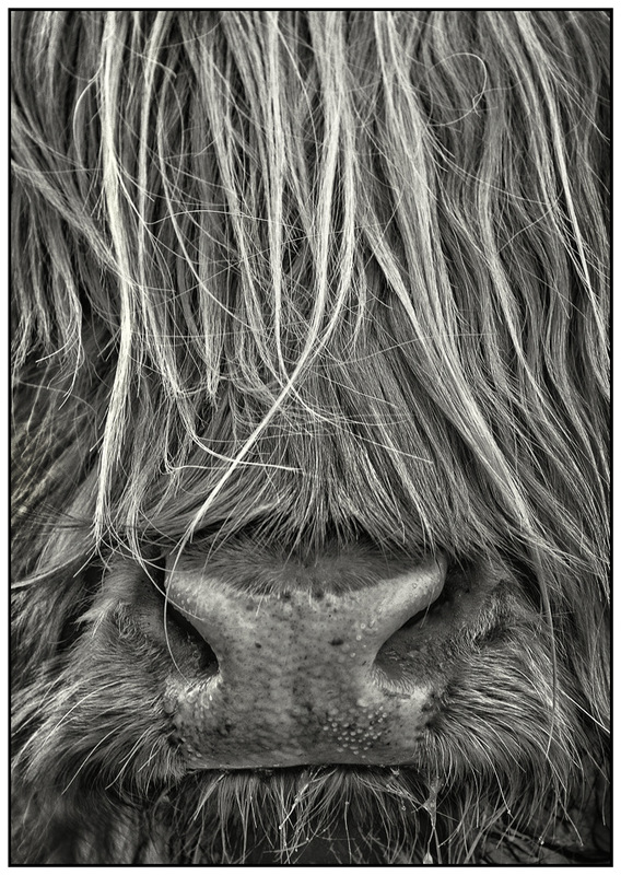 Simon Larson Photography - Highland Coo, Braes, Isle of Skye