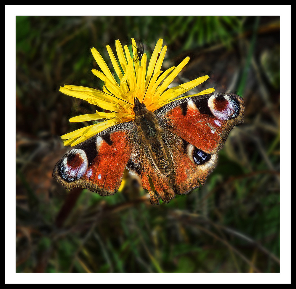 Simon Larson Photography - Red Admiral Butterfly