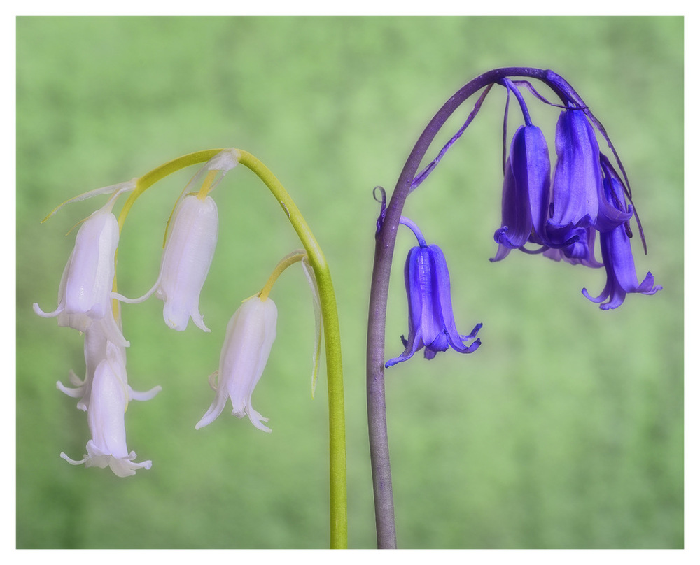 Simon Larson Photography - Bluebells and white variant