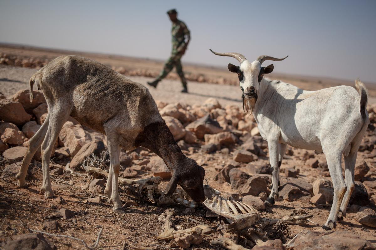 Adrienne Surprenant - Les deux dernières chèvre de Mako Ogli mangent les restes de chair sur une carcasse.