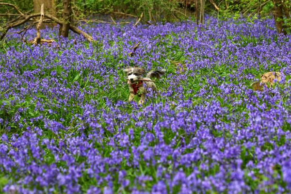 Paul Marriott Photography - Dog in bluebells