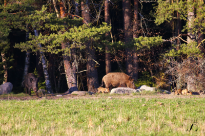 Winedale Photography - Wild boars with piglets