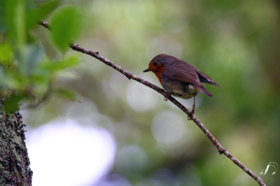 Winedale Photography - Azorean bird