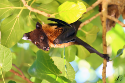 Winedale Photography - Flying fox
