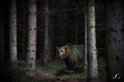 Winedale Photography - Woodland bear