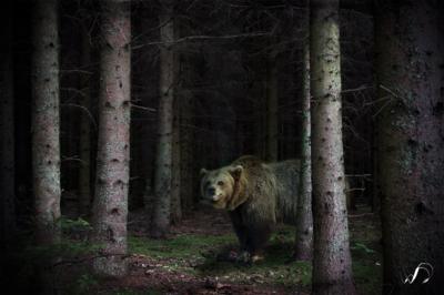 Winedale Photography - Woodland bear