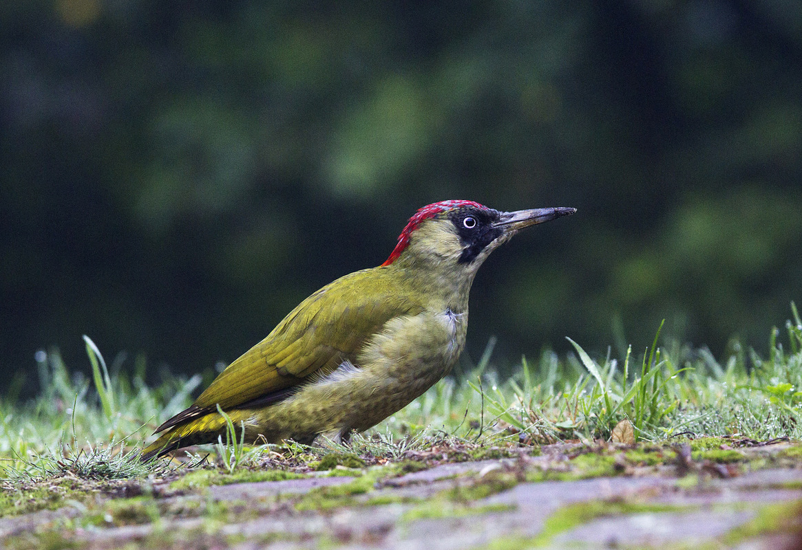 Sijmen Hendriks Nature Photography - Green Woodpecker, the Netherlands
