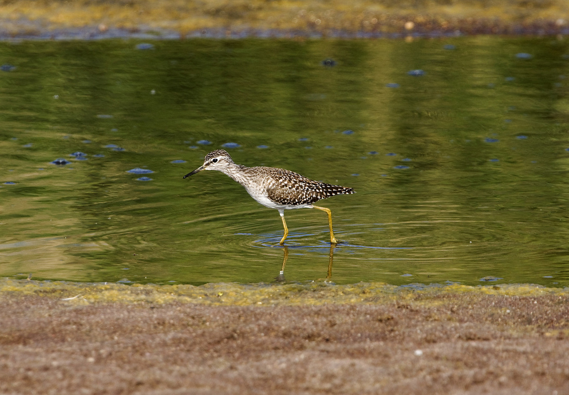 Birds around the North Sea - Wood Sandpiper, Lesbos, Greece