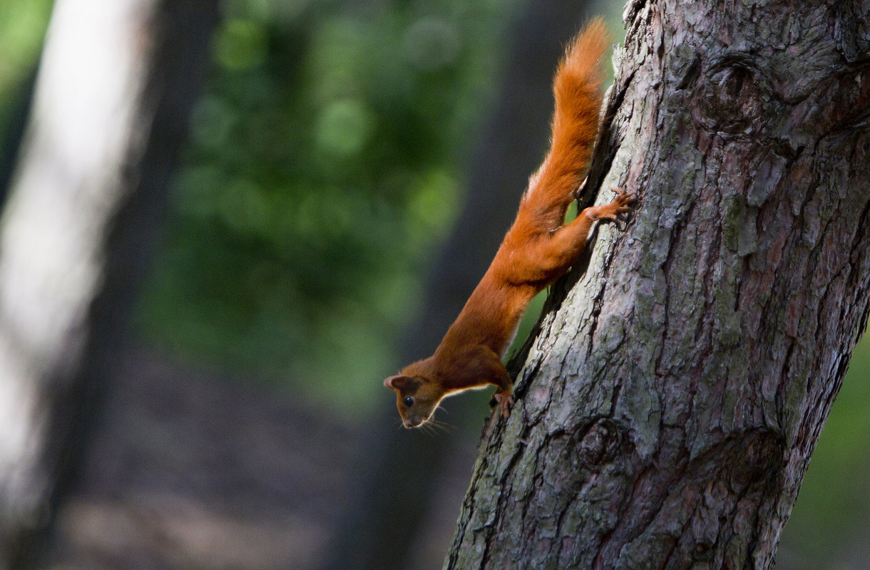 Birds around the North Sea - Red Squirrel, Germany
