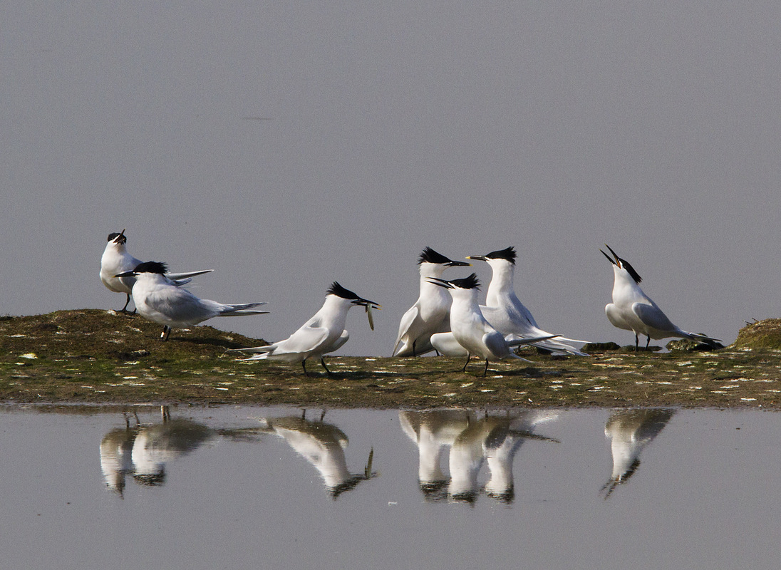 Birds around the North Sea - Sandwich Terns, Texel, the Netherlands