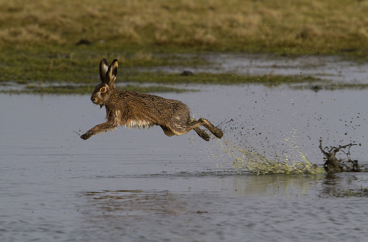 Birds around the North Sea - Hare, the Netherlands