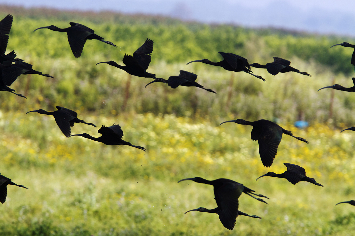 Birds around the North Sea - Glossy Ibis, Spain