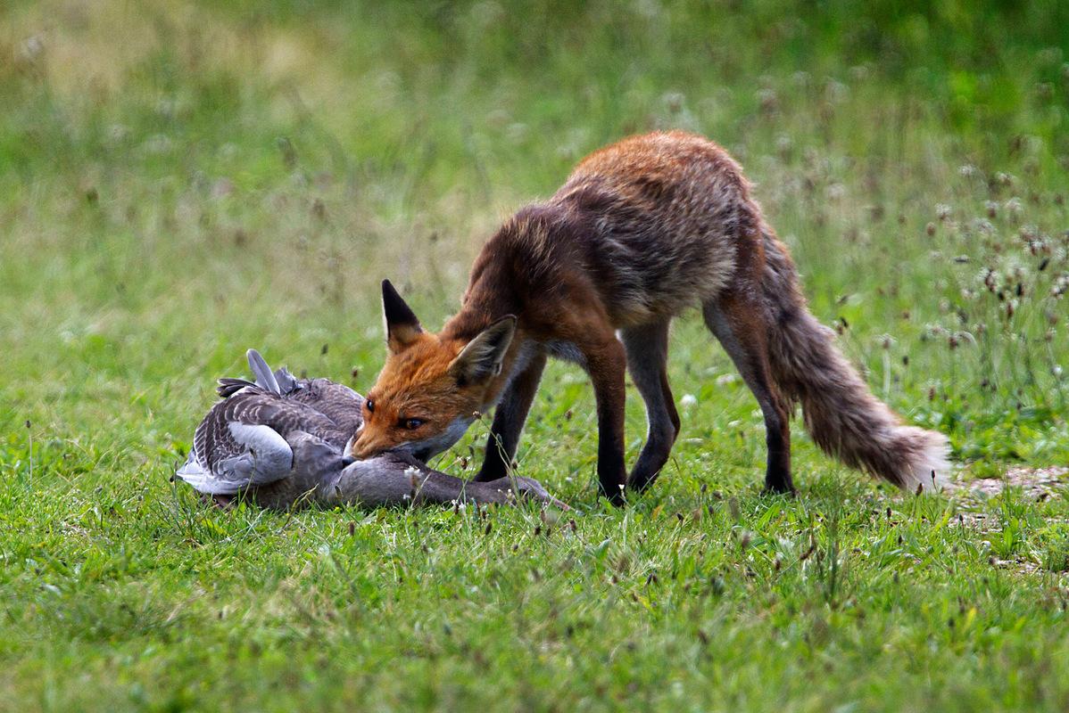Birds around the North Sea - Fox catches a young Greylag Goose, Oostvaardersplassen, the Netherlands