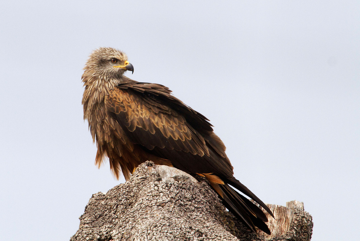 Birds around the North Sea - Black Kite, Monfrague, Extremadura, Spain